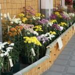 古典菊展-1